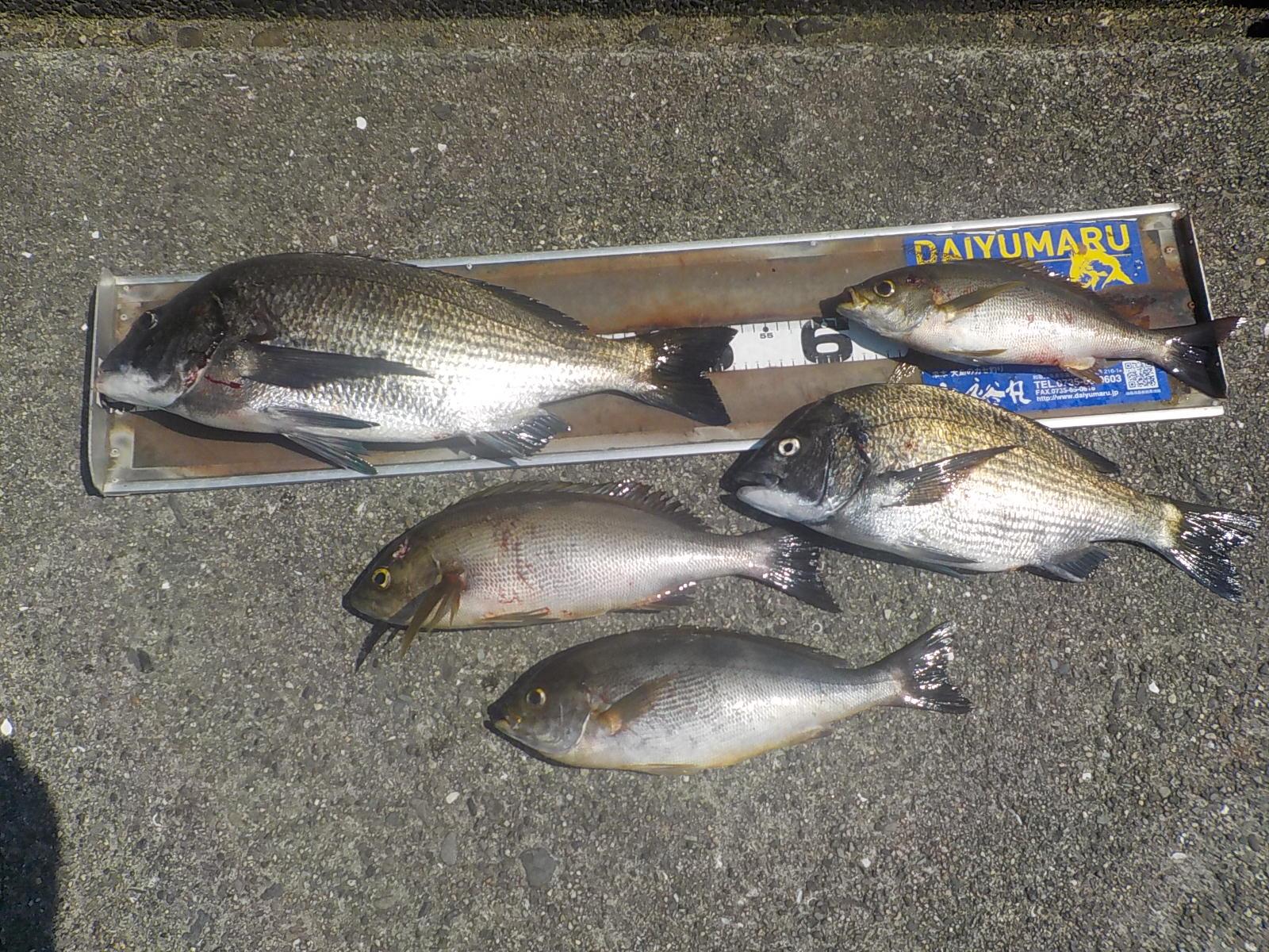 河原様 チヌ45~53センチ 2尾 イサキ35~40センチ 3尾